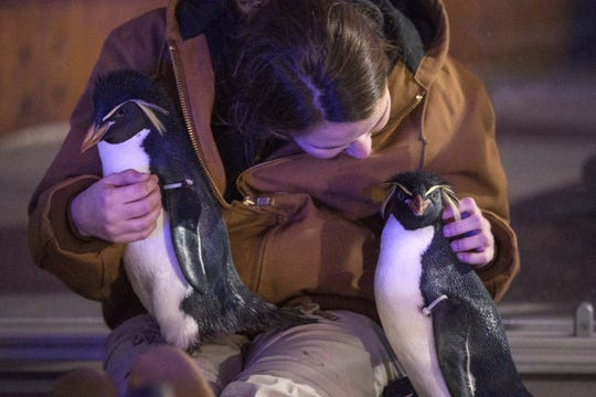 Penguin-keeper Kacie Bruton snuggles with a penguin during Indianapolis Zoo's Christmas at the Zoo, Wednesday, Dec. 6, 2017. The penguins were briefly on display outside, enjoying the cold weather.
