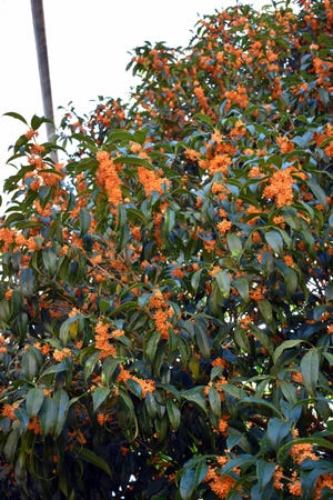 The orange flowered forms of tea olive are just as fragrant and offer orange flowers by the month of October, coinciding nicely with Halloween and UT football.
