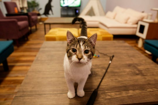 An adoptable cat looks at the camera inside Lazy Cat Lounge, 848 Main St., Wednesday, Nov. 27, 2019 in Lafayette.