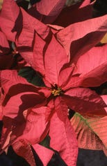 The bright red poinsettia continues to be the potted plant of choice for the Christmas season. With proper care, it will remain in good condition well beyond the Christmas holiday.