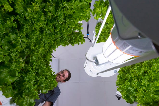 Alex Tyink, a partner in Fork Farms, is shown looking down at a vertical hydroponics unit Tuesday, November 26, 2019 at Butte des Morts Elementary School in Menasha, Wis.  Fork Farms LLC has expanded a lot in the last year going from just selling in Wisconsin to 18 states. Three of these goods are harvested each week, producing about 60 pounds of fresh Romaine lettuce, which is used by the food service at Menasha High School.