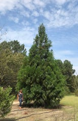 This 30-foot Christmas tree will be part of the First Security Bank  Tree Lighting ceremony on Dec. 6.