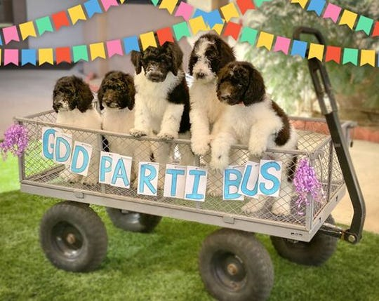 "Puppies enjoy a ride on the Guide Dogs of the Desert ""parti bus."""