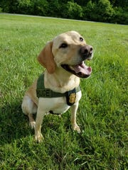 Badger is a 6-and-a-half-year-old yellow Labrador retriever that is commissioned in Baltimore County.