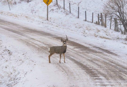 A mule deer buck crosses Milligan Road in Cascade County on Wednesday afternoon, November 27, 2019.