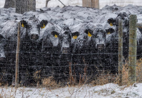 Cattle huddle together as a winter storm moves over Cascade, Mont. on Wednesday afternoon. Great Falls set a daily record for Nov. 28 with 7.7 inches of snow and is expected to receive an additional 7 inches from Friday into Saturday morning.