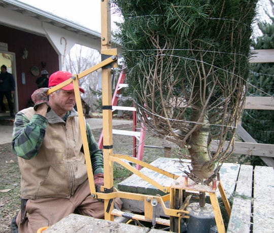 Lou Waldock, owner of Waldock Tree Farm in Iosco Twp., drills a mounting hole in the trunk of a concolor fir, used for mounting the tree in a special pin-type stand.