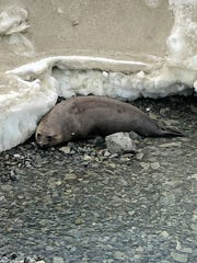 An elephant seal at the UK's Rothera Station