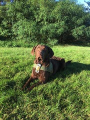 Ruckus is a 4-year-old Chesapeake Bay retriever that works out of Prince George's County.
