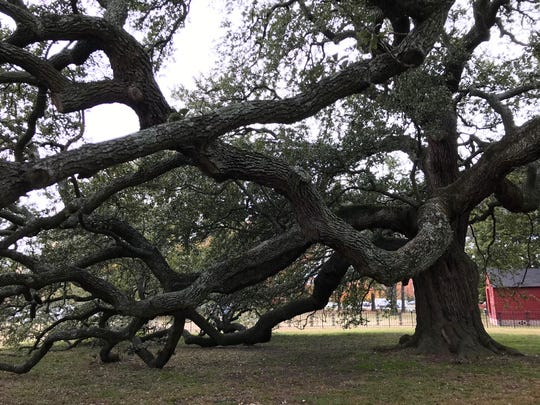 Emancipation Oak on the Hampton University grounds in Hampton, Virginia, on Friday, Nov. 22, 2019.