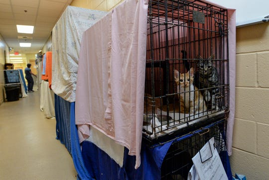 A pair of kittens, named Rudolph (left) and Nick, are seen peering out of one of many covered cages throughout the halls of the Humane Society of the Treasure Coast on Friday, Nov. 29, 2019, as Morgan Horn (background), cat care tech, walks through the hallway of the facility in Palm City. The humane society has been receiving cats from the St. Lucie County Humane Society, from the hurricane ravaged Bahamas, and cats from several local hoarding cases, overrunning the shelter's normal capacity.