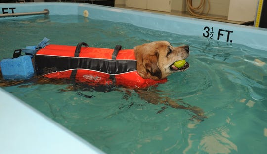 Tyson, a mixed breed who died three years ago at age 11, swims in the University of Tennessee Veterinary Medical Center's canine-rehab pool to treat his degenerative myelopathy, a spinal-cord disease, in this 2016 photo.