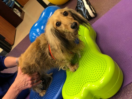 Hartley does balancing exercises and gets a massage as part of her physical therapy at River Canine Rehabilitation in Springfield, Missouri. Canine rehabilitation is a growing field that, in cases like Hartley's, can be used as an alternative to surgery.