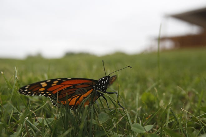 A monarch butterfly rests in the grass before flying off.
