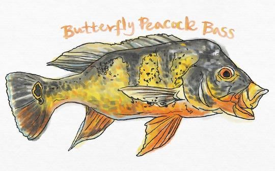 Butterfly Peacock Bass