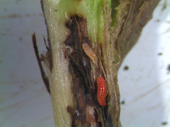 In 2016, experts from Iowa State University Extension and Outreach reported a new soybean pest in western Iowa - the soybean gall midge. The pests' larvae are clear and eventually turn bright orange as they mature.