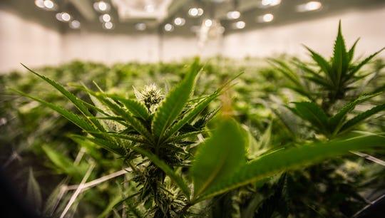 A room of flowering marijuana plants seen at Green Peak Innovations in Windsor Township, Tuesday, Nov. 5, 2019.