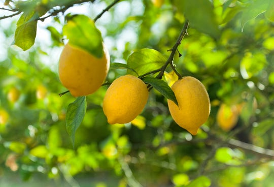 Citrus can be planted any time of the year but late winter to early spring is the best time.