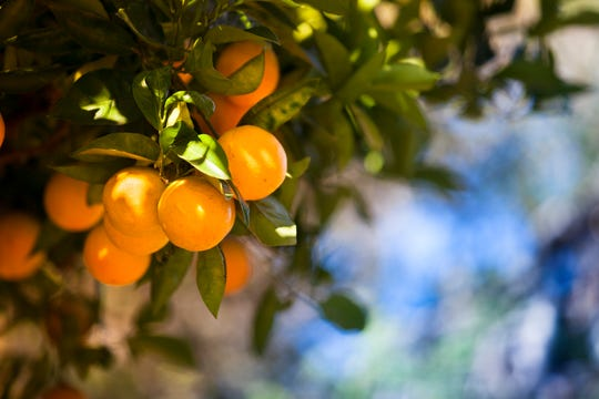Citrus need full sun and anything less will affect the growth and production of the trees.