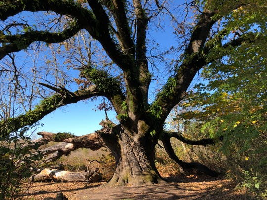 An Oregon white oak, probably 400 years old, stands guard at the Ridgefield National Wildlife Refuge.