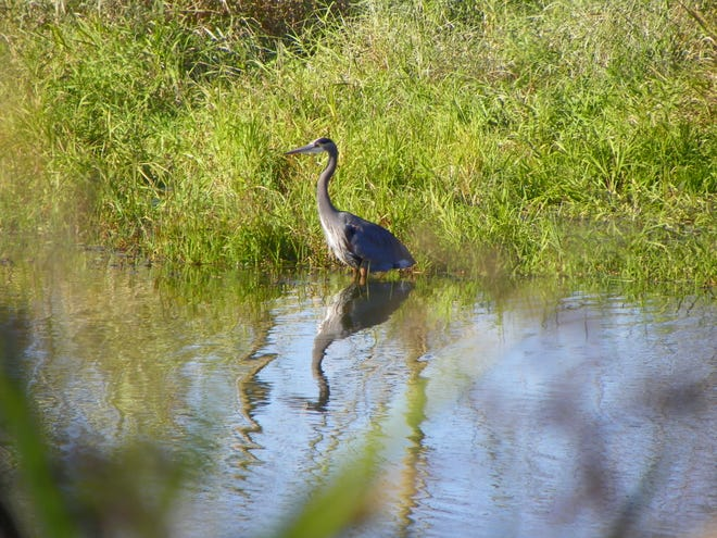 A great blue heron stands in a waterway at the Ridgefield National Wildlife Refuge