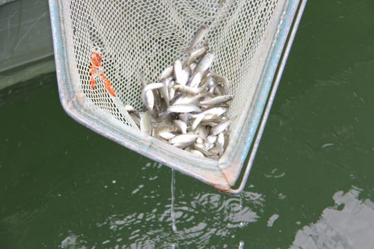 A net full of baby striped bass is lowered into the Missouri side of Bull Shoals Lake in 2013.  The fish can grow to become huge.
