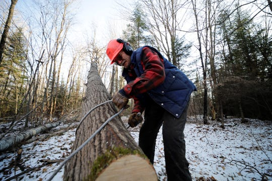 Gary Edinger, of Kennan, uses a steel cable to tie a tree he cut Friday, Nov. 15, 2019, on land near Ogema, Wis.