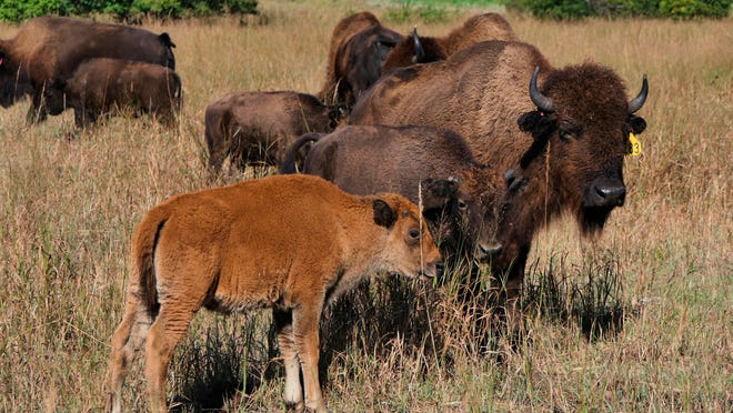 "In this November 2019 photo, a bison calf stands with the herd on the Black Kettle Buffalo Ranch in Moundridge, Kan. One of the promising industries for agriculture harkens back to the days when bison roamed the Kansas prairie. The Hutchinson News reports that Moundridge rancher Dick Gehring calls bison one of the ""bright spots in agriculture."""