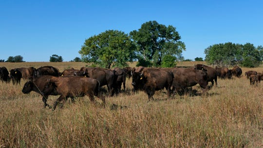 "In this November 2019 photo, bison roam the Black Kettle Buffalo Ranch in Moundridge, Kan. One of the promising industries for agriculture harkens back to the days when bison roamed the Kansas prairie. The Hutchinson News reports that Moundridge rancher Dick Gehring calls bison one of the ""bright spots in agriculture."""