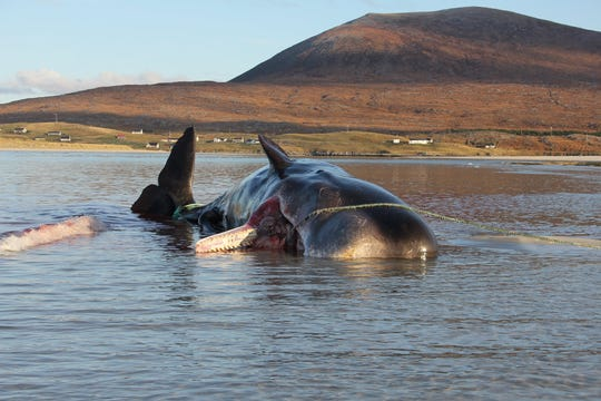 The whale washed up on the shore of Seilebost Beach in Scotland's Isle of Harris.