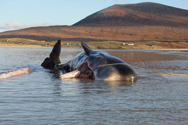 An image of the stranded whale.