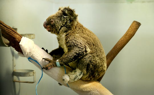 A koala recovers from burns on Nov. 29, 2019, in Port Macquarie, Australia. Hundreds have died in the nation's recent drought-fueled fires.