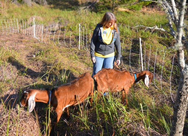 Carol Etscovitz, with Rent a Ruminant, walks in a field with goats. Imperial Estates Elementary School in Titusville is using Rent a Ruminant for a few weeks, allowing goats to munch the hilly, overgrown field behind the school.