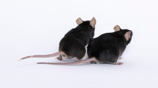 A photo demonstrating a regular mouse (left) and a genetically-engineered, mighty mouse (right). Researchers will be sending these mice up to space to study muscle degradation in microgravity environments.