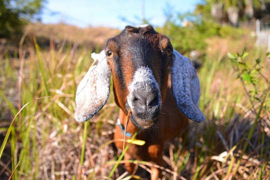 """Goats are fun, social, and playful animals,"" Mackay said. ""They make great companions and are often very interactive and bonded to their owners."""
