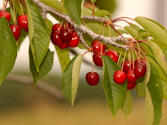 Michigan cherry farmers want the U.S. government to impose a nearly 650% tariff on dried tart cherries from Turkey.