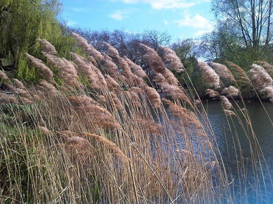 The non-native Phragmites australis, a plant of uncommon beauty, has become an ecological threat as it spreads across North America.