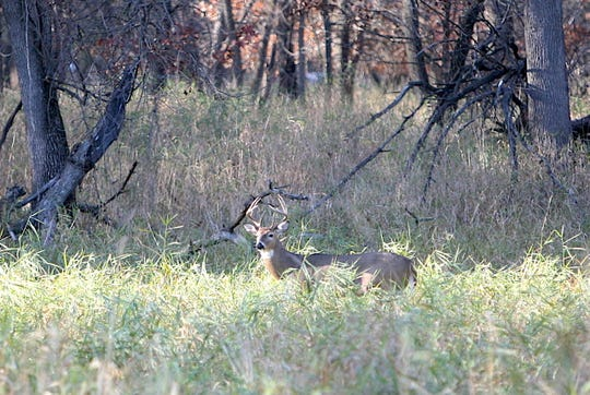 A buck walks through a grassy opening near La Crosse, Wis. prior to the 2019 Wisconsin gun deer hunting season.