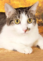 Patti is available for adoption 952 W. Melody Avenue in Gilbert. For more information, call 480-497-8296, or visit azfriends.org.