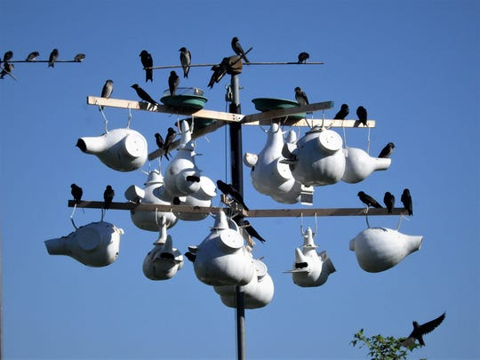 Purple martins mull around their high-rise colony.