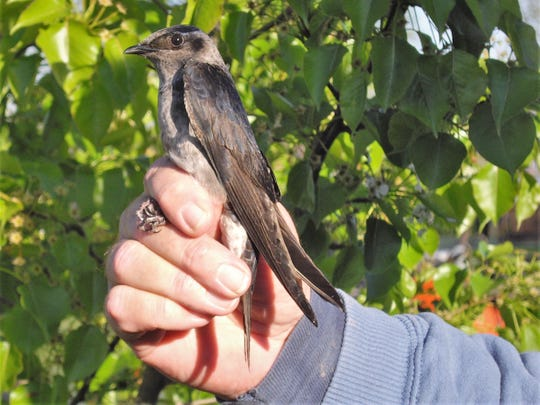 A second year female purple martin is held in hand.