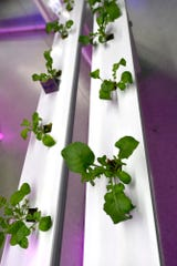 Students at West Shore School District are developing green thumbs with the West Shore Aquaponics lab. 