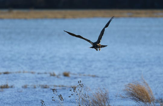 Bald eagles like to fish in Lake Springfield as much as local anglers, despite the lake significantly silting in over the years.