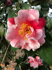 A beautiful camellia blossom.