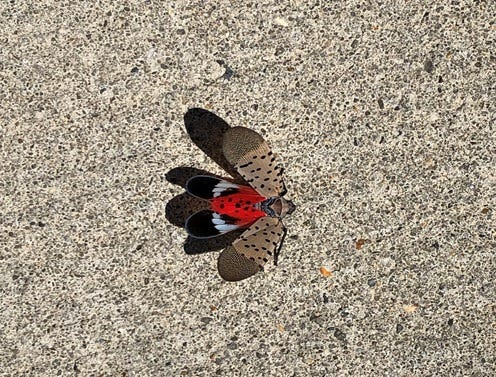 A Spotted Lanternfly is a crafty hitch hiker. The invasive species will feed on a large variety of woody and non-woody hosts, creating the greatest agricultural threat to grapes, apples, hops, blueberries and stone fruits.