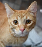 Stanley is an eight-month old, neutered male, orange tabby. He is good with kids, playful and available for adoption at the Wichita Falls Animal Services Center.