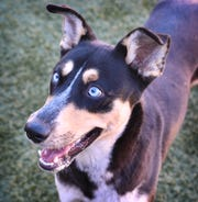 Milo is a nine-month old, black and tan, Husky mix. He is playful, energetic and available for adoption at the Wichita Falls Animal Services Center.