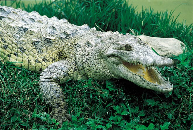 Lago Enriquillo is a 135-square miles saltwater lake in the eastern region of the DR, where boatmen take passengers out on the water to observe American crocodiles in their natural habitat.