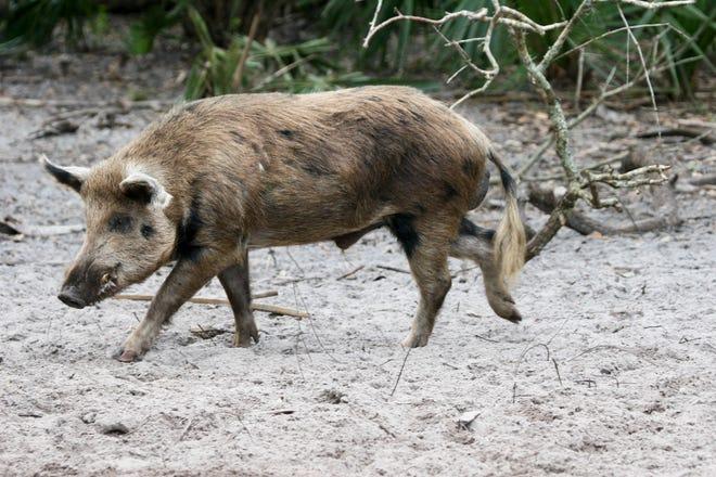 Sarasota County Parks and the Sarasota Sportsmen's Association are partnering for an archery-only feral hog hunt at Pinelands Reserve in Nokomis.