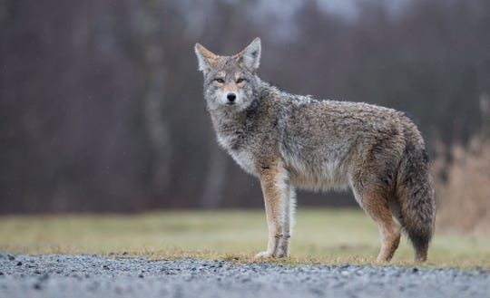 Coyotes' natural range has been expanding steadily eastward for more than 100 years, and they've been reported in Florida since the 1980s.